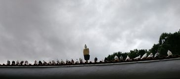 Row of pigeons standing on the eaves royalty free stock photography