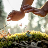 Conceptual image of male hands making a protective gesture over. A small spring flowers in the woods backlit with a beautiful evening sun stock photography