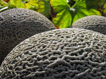 Conceptual image of muskmelon Royalty Free Stock Images