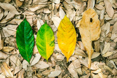 Conceptual of life, cycle of birth and death. Nature fresh leaf. And withered leaf on floor in forest Royalty Free Stock Images