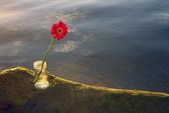 Single red gerbera flower on sea roc in transparent vase. royalty free stock photo