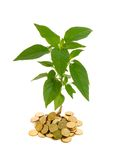 Conceptual profit. Plant rising from a pile of golden coins - conceptual image for profit, investments, success and finances - isolated stock photo