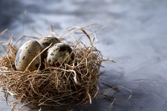 Conceptual still-life with quail eggs in hay nest over grey background, close up, selective focus. Conceptual still-life with fresh raw spotted quail eggs in hay stock photography