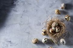 Conceptual still-life with quail eggs in hay nest over grey background, close up, selective focus. Conceptual still-life with fresh raw spotted quail eggs in hay royalty free stock photo
