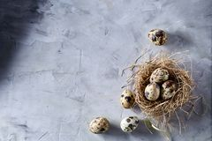 Conceptual still-life with quail eggs in hay nest over grey background, close up, selective focus. Conceptual still-life with fresh raw spotted quail eggs in hay royalty free stock images