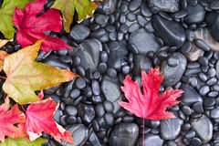 Conceptual view of Autumn Leaves on Black Rocks Royalty Free Stock Photo