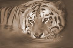 Tiger in the river Sepia stock illustration