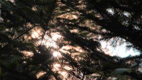 Conceptuele hoop Het licht van zonstralen glanst door de boom van de pijnboomappel en takken van bosaardachtergrond Hoop stock footage