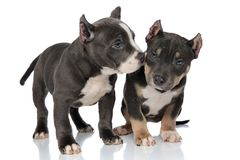 Concerned American Bully puppy looking, protectet by his friend. Concerned American Bully puppy looking around scared and being protected by his brave friend stock photos