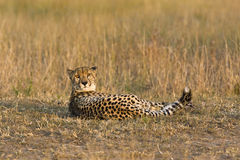 Concerned cheetah Stock Photos