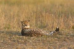 Concerned cheetah Stock Photos