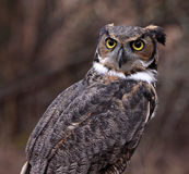 Concerned Great Horned Owl Royalty Free Stock Image