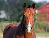 Concerned Horse. A concerned horse on a farm Royalty Free Stock Image