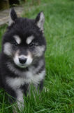 Concerned Look on the Face of an Alusky Pup. Ears pulled back on the face of an alusky pup Stock Image