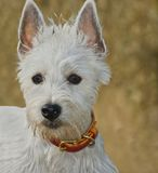 Concerned west highland terrier dog outdoors Stock Photography