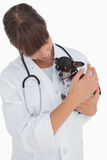 Concerning vet holding a cute chihuahua Royalty Free Stock Photography