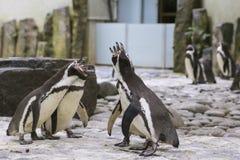 Concert drôle de pingouins dans un zoo Photographie stock libre de droits