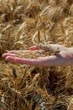 Concetto agricolo, grano a disposizione Fotografia Stock Libera da Diritti