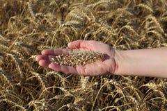 Concetto agricolo, grano a disposizione Immagini Stock