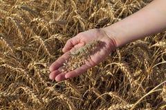 Concetto agricolo, grano a disposizione e campo Immagine Stock