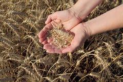 Concetto agricolo, grano in mani e campo Immagini Stock