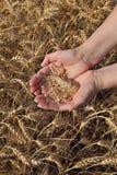 Concetto agricolo, grano in mani e campo Immagini Stock Libere da Diritti