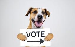 Concetto americano di attivismo di elezione con il cane del terrier di Staffordshire fotografia stock libera da diritti
