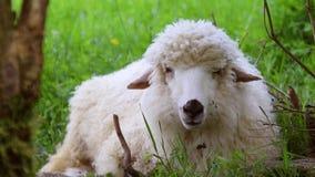Concetto crescente del bestiame Una moltitudine di pecore che riposano in un prato e che mangiano erba in una valle verde un gior stock footage