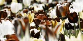 Concetto dei tulipani tinto seppia Fotografie Stock Libere da Diritti