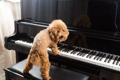Concetto del barboncino sveglio che prepara giocare pianoforte a coda fotografia stock libera da diritti