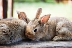Concetto del coniglietto di pasqua Due conigli lanuginosi, primo piano, profondità di campo bassa, fuoco molle Fotografie Stock