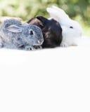 Concetto del coniglietto di pasqua Piccoli conigli bianchi neri grigi svegli, animali domestici lanuginosi su fondo bianco fuoco  Fotografia Stock