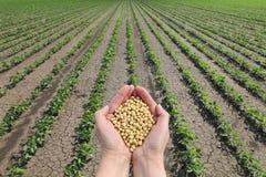 Concetto del fagiolo della soia, mani con il raccolto del fagiolo della soia e campo Fotografie Stock