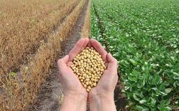 Concetto del fagiolo della soia, mani con il raccolto del fagiolo della soia e campi Fotografia Stock