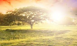 Concetto del fondo della natura: Albero solo sul tramonto del prato Fotografia Stock Libera da Diritti