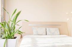 Concetto del giardino e della casa del trifasciata di sansevieria o della pianta di serpente nella camera da letto Immagini Stock Libere da Diritti