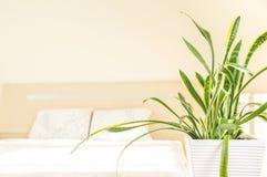 Concetto del giardino e della casa del trifasciata di sansevieria o della pianta di serpente nella camera da letto Immagine Stock