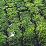 Concetto del raccolto del tè del raccolto dell'agricoltore di agricoltura Fotografia Stock