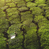 Concetto del raccolto del tè del raccolto dell'agricoltore di agricoltura Immagini Stock Libere da Diritti