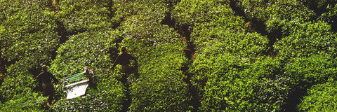 Concetto del raccolto del tè del raccolto dell'agricoltore di agricoltura Immagine Stock