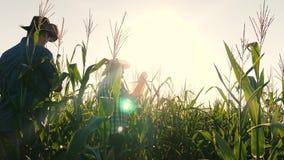 Concetto dell'affare agricolo l'uomo dell'agronomo ispeziona le pannocchie di fioritura di un campo e di granturco Uomo d'affari  archivi video