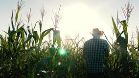 Concetto dell'affare agricolo l'uomo dell'agronomo ispeziona le pannocchie di fioritura di un campo e di granturco Uomo d'affari  stock footage