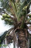 Concetto dell'ambiente vegetale del succo della noce di cocco dell'albero Fotografia Stock