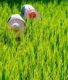 Concetto della natura del campo della Malesia degli agricoltori del riso Immagine Stock Libera da Diritti