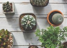 Concetto della natura della pianta da appartamento del cactus della pianta Immagine Stock Libera da Diritti