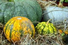 Concetto della natura di autunno Zucca arancio, gialla, verde matura con erba asciutta Cena di ringraziamento immagini stock libere da diritti
