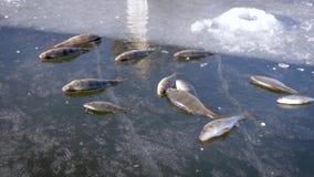 Concetto della pesca sul ghiaccio di inverno Il pesce del pesce persico si trova sul ghiaccio congelato del lago archivi video