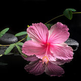 Concetto della stazione termale dell'ibisco rosa di fioritura e del viticcio verde Fotografia Stock