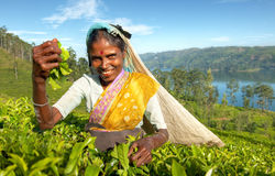 Concetto dello Sri Lanka indigeno della raccoglitrice del tè Immagine Stock