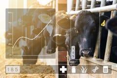 Concetto di Agritech con le mucche da latte in stalla con pannello dati immagini stock libere da diritti